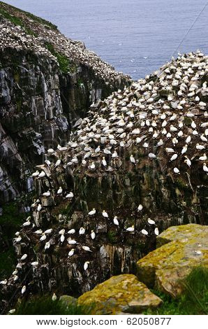 Northern gannets at Cape St. Mary's Ecological Bird Sanctuary in Newfoundland, Canada