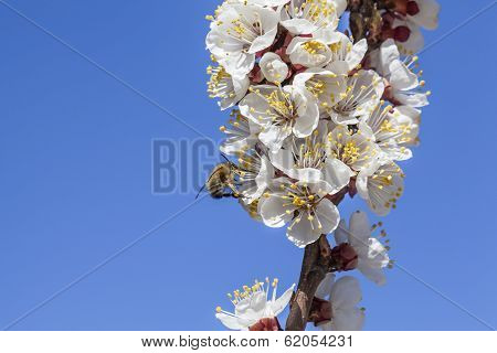 Honey Bee On Spring Blossoms