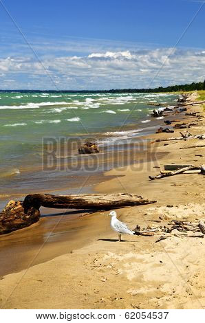 Driftwood on sandy beach with waves and seagull. Pinery provincial park, Ontario Canada