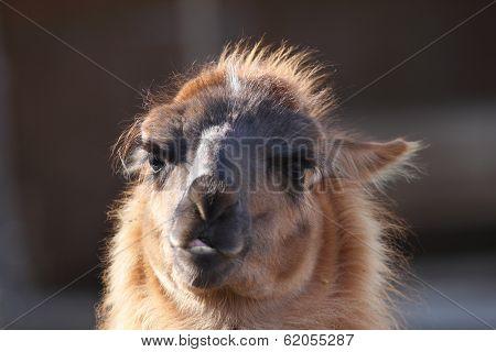 Spitting Llama Head