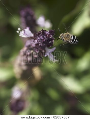 Australian Native Bee Amagilla Flying