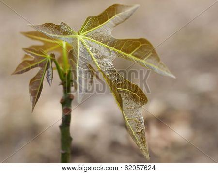 Australian Bushtucker Juvenile Candlenut Tree Aleurites Moluccana