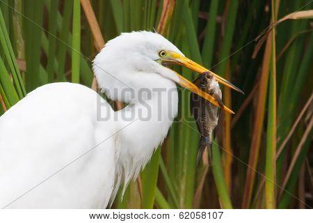 Great White Egret Catching Fish