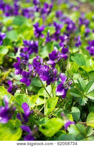 Violas In The Forest