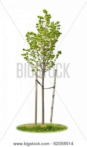 Young linden tree held with wooden stakes isolated on white background