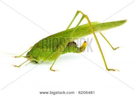 Big Green Grasshopper (tettigonia Viridissima)