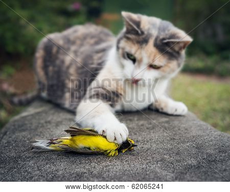 Calico Cat Holding Dead Hooded Warbler Bird With Its Paw