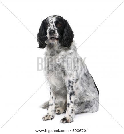 Black And White Bastard Dog Similar To An English Springer Spaniel, In Front Of White Background