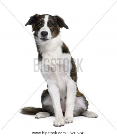 Bastard Dog, 6 Years Old, Sitting In Front Of White Background