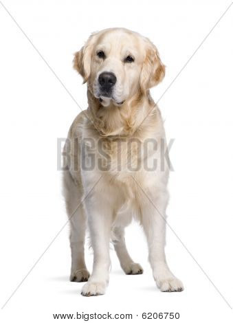 Golden Retriever, 3 Years Old, Standing In Front Of White Background
