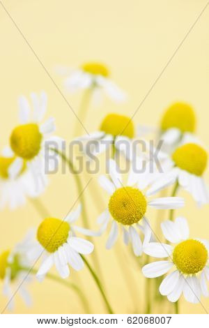 Closeup of chamomile flowers on yellow background