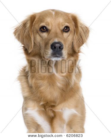 Nova Scotia Duck Tolling Retriever, 5 Years Old, In Front Of White Background