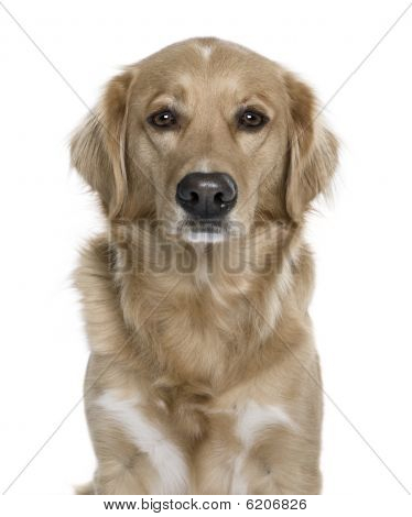 Nova Scotia Duck Tolling Retriever, 5 Years Old, In Front Of White Background, Studio Shot