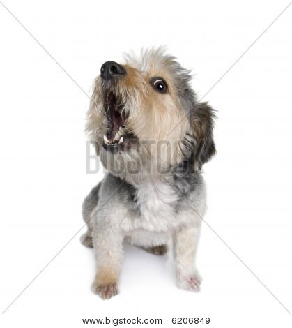 Cross Breed Dog Barking, 4 Years Old, In Front Of White Background