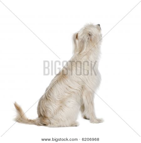Pyrenean Shepherd, 2 Years Old, Sitting In Front Of White Background
