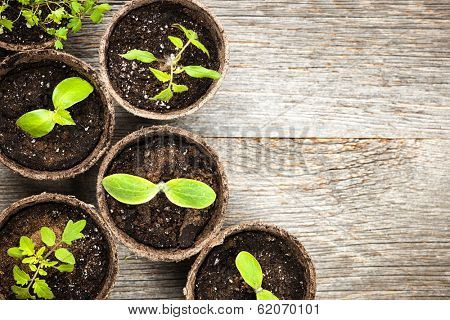 Potted seedlings growing in biodegradable peat moss pots on wooden background with copy space