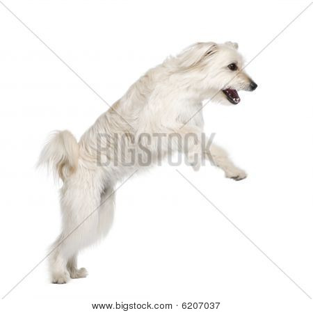 Pyrenean Shepherd, 2 Years Old, Leaping In Front Of White Background