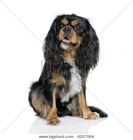 Cavalier King Charles Spaniel,  Sitting In Front Of White Background