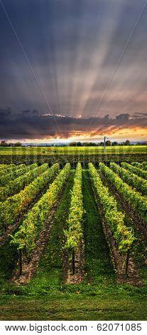 Vertical panorama of vineyard at sunset in Niagara peninsula, Ontario, Canada.
