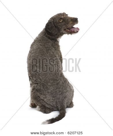 Back View Of A Spanish Water Spaniel Dog, Sitting Against White Background