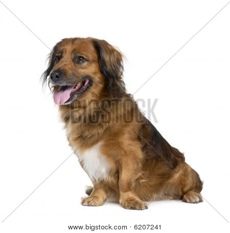 Bastard Dog, 10 Years Old, Sitting In Front Of White Background
