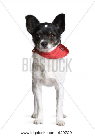 Bastard Dog In Red Handkerchief, Standing In Front Of White Background