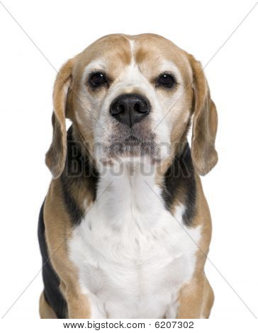 Beagle, 9 Years Old, Sitting In Front Of White Background