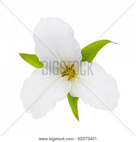Trillium Ontario provincial flower with leaves isolated on white background