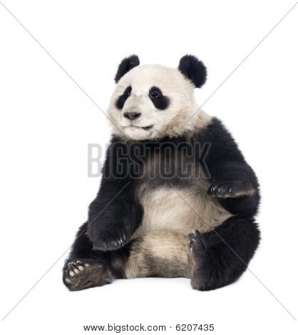 Giant Panda, Sitting In Front Of White Background