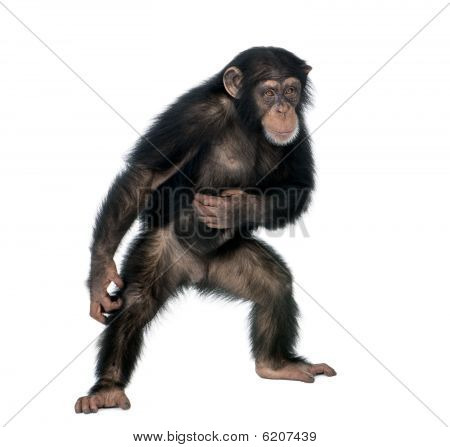 Young Chimpanzee, Standing In Front Of White Background