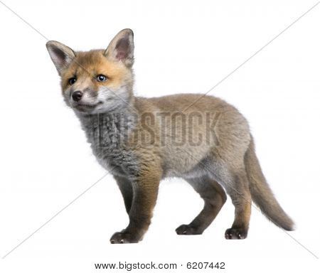 Red Fox Cub, Standing In Front Of White Background, Studio Shot