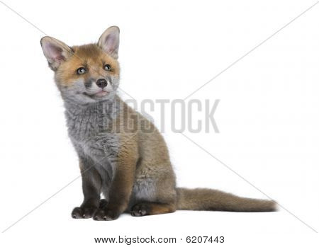 Red Fox Cub, Sitting In Front Of White Background, Studio Shot