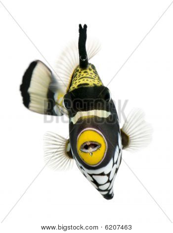 Clown Triggerfish, Swimming Against White Background