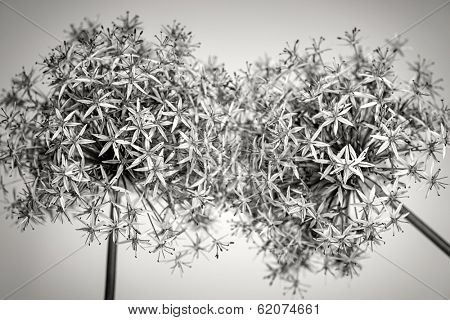 Macro closeup of flowering onion flowers in black and white