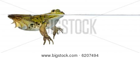 Frog Floating In Water against white background studio shot