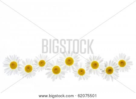 Flower border of oxeye daisies isolated on white background