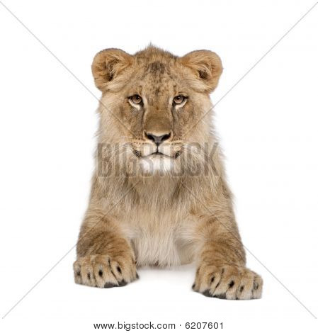 Portrait Of Lion Cub, lying down In Front Of White Background