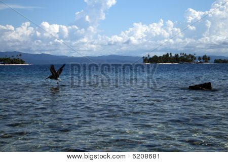 A Pelican in San Blas, Panama