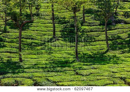 Kerala India travel background - green tea plantations with trees in Munnar, Kerala, India close up