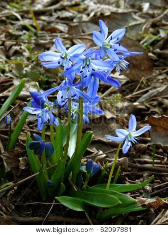 first spring flowers siberian squill