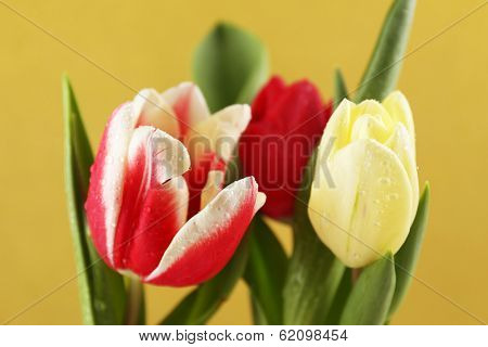 Beautiful tulips on yellow background