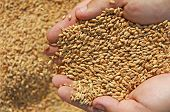 foto of silos  - Wheat grain in a hand  - JPG