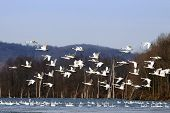 stock photo of trumpeter swan  - A flock of Tundra Swans fly over a lake with swans swimming in the water.