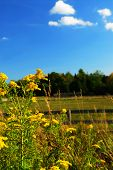 pic of ragweed  - Rural summer landscape with blooming ragweed in foreground - JPG