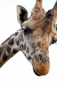 picture of nacked  - Giraffe with sad face  - JPG