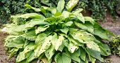 image of slug  - green leaves on plant in garden eaten by slugs with shallow focus