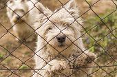 foto of westie  - Two west highland terrier dogs behind the fence - JPG