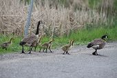 image of canada goose  - Canada geese, with fuzzy, yellow, goslings walking on roadway towards water in marsh.. The Canada goose is native to North America.