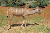 picture of greater  - Greater Kudu cow on a farm in South Africa - JPG