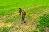 stock photo of burro  - Baby donkey in the middle of the field - JPG